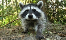 UNINVITED GUESTS - When Raccoons Move In